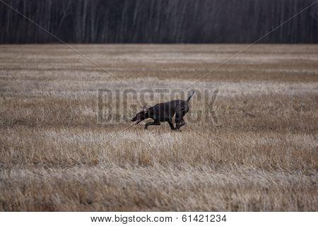 Kurzhaarruns Across The Field Of Cut Grass