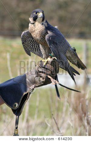 Adler und Handler