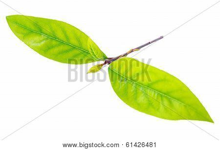 Fresh Branch Bay Laurel Leaves Is Isolated On The White Background