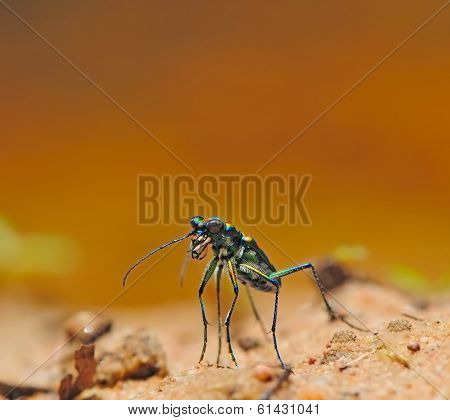 Three Spot Tiger Beetle