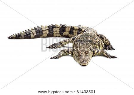 Crocodile On The White Floor