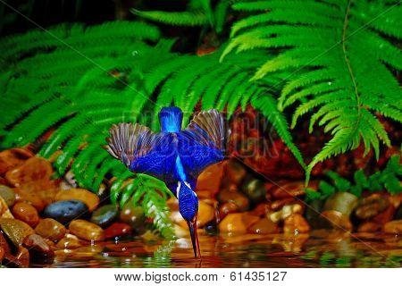 Male Blued-eared Kingfisher