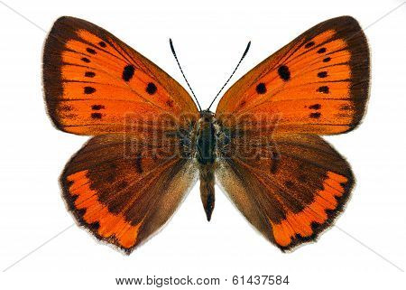 Female of Large Copper (Lycaena dispar), an endangered butterfly