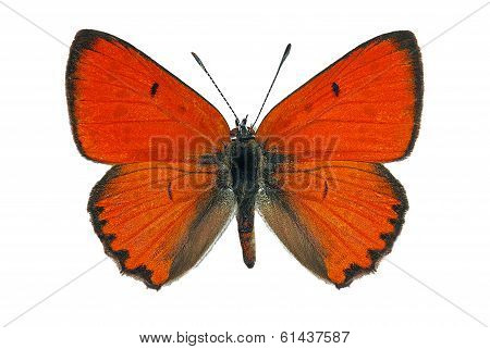 Male of Large Copper (Lycaena dispar), an endangered butterfly