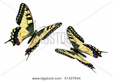 Common Swallowtail (papilio Machaon) In Flight