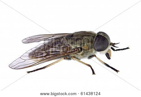 horsefly (Tabanus sp) in lateral view