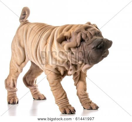 dog shaking - chinese shar-pei shaking his head isolated on white background - 4 months old