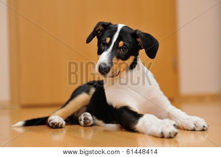 Curious Smooth Collie Puppy Lying On The Floor