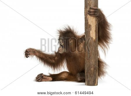 Side view of a young Bornean orangutan sitting, holding to a tree trunk, Pongo pygmaeus, 18 months old, isolated on white