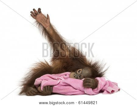 Young Bornean orangutan lying, cuddling a pink towel, Pongo pygmaeus, 18 months old, isolated on white