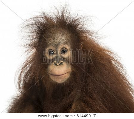 Young Bornean orangutan looking at the camera, Pongo pygmaeus, 18 months old, isolated on white