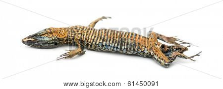 Dead Common wall lizard in state of decomposition, lying on its back, Podarcis muralis, isolated on white