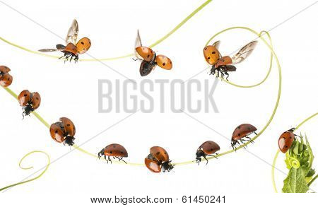 Group of Ladybirds landed on a plant and flying, isolated on white