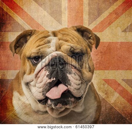 Close-up of an English Bulldog panting on a vintage UK flag background