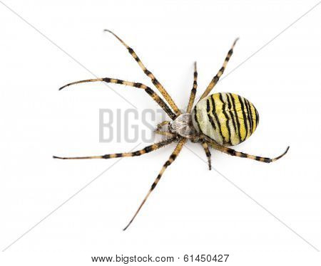 Wasp spider viewed from up high, Argiope bruennichi, isolated on white