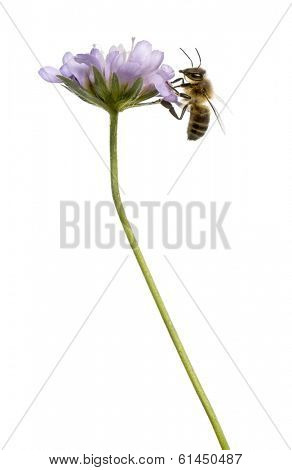 Side view of a  European honey bee landed on a flowering plant, foraging, Apis mellifera, isolated on white