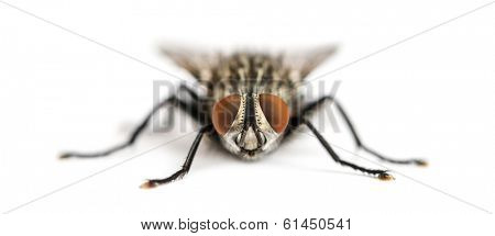 Front view of a Flesh fly facing, Sarcophagidae, isolated on white