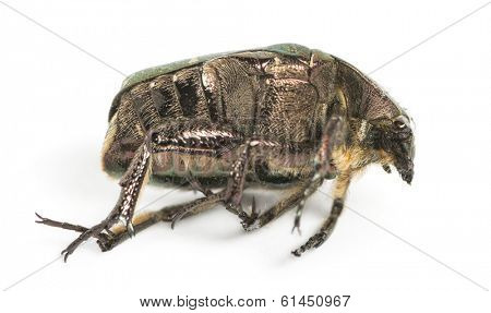 Side view of a dead Green rose chafer, Cetonia aurata, isolated on white