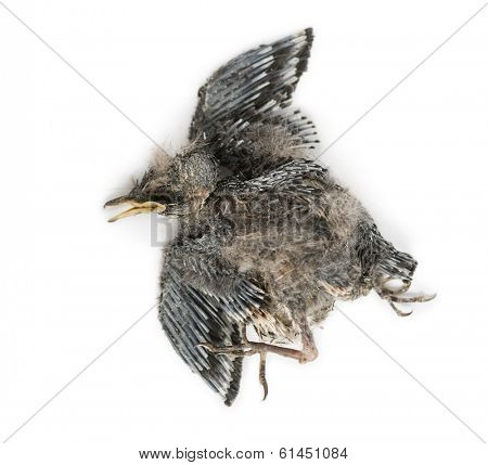 Dead baby Swallow in state of decomposition, Hirundinidae, isolated on white