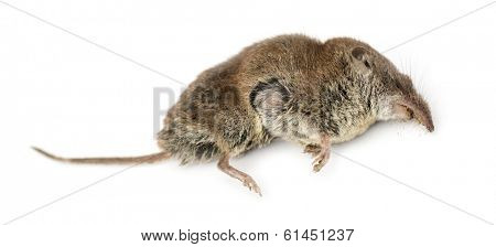 Dead Greater white-toothed shrew, Crocidura russula, isolated on white