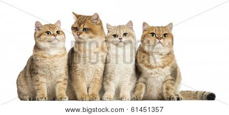 Group of British shorthair sitting in a row, isolated on white