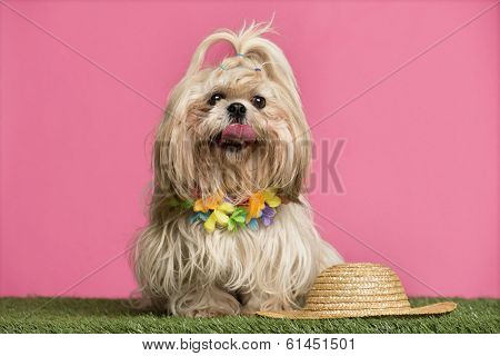 Shih tzu going on holidays, on pink background
