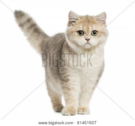 British shorthair standing, looking at the camera, isolated on white