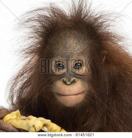 Close-up of a Young Bornean orangutan eating a banana, looking at the camera, Pongo pygmaeus, 18 months old, isolated on white