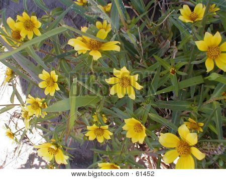 Nodding Beggartick Blooms