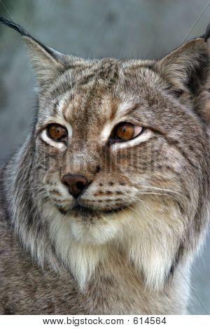 Lynx - IV