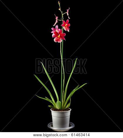 Orchid  Burrageara Cambria Plant in Flowerpot on black background