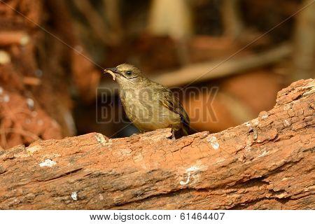 Streak-eared  Bulbul (pycnonotus Blanfordi)