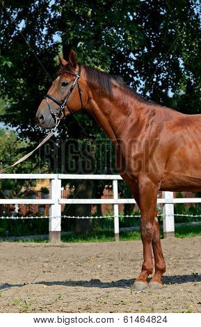 Tribal Young Stallion At The Racetrack