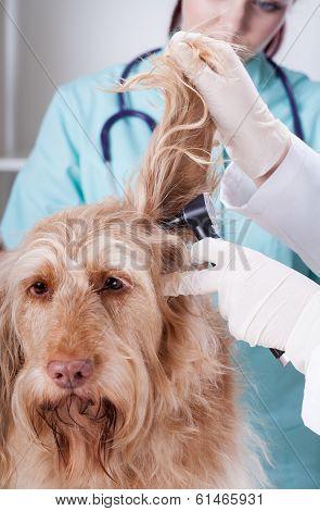 Vet Examining Dog With Otoscope