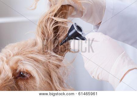 Dog Having Otoscope Examination