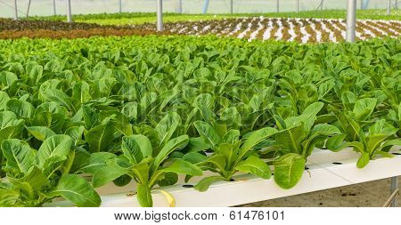 Romaine Lettuce Plantation