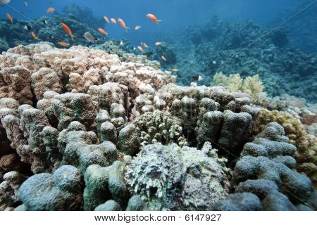 Coral And Stonefish