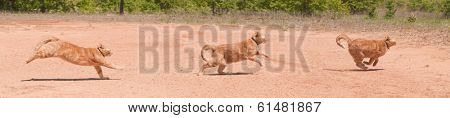 Ginger tabby running across red sand in full speed at different phases of stride, a panorama with three images