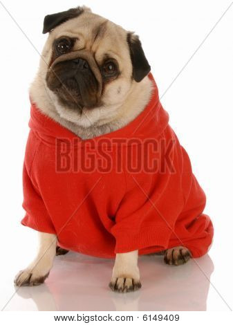 Mops wearing red sweater
