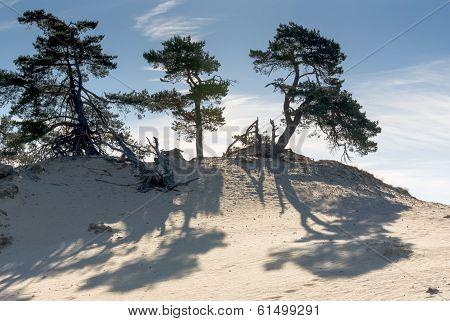 Sand-drift, Trees And Grass At Kootwijkerbroek, Netherlands