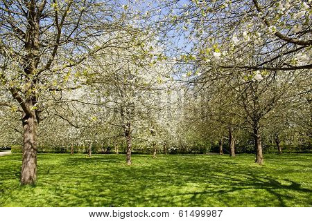 Garden of white Japanese cherry trees, blossoming trees in spring