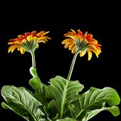 Two Gerbera flowers with water drop on black background