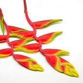 picture of heliconia  - A beautiful red Heliconia isolated on a white background - JPG