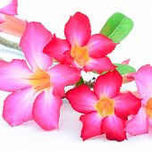 picture of desert-rose  - Desert Rose - JPG