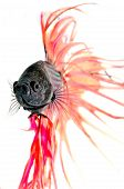 stock photo of siamese fighting fish  - Close - JPG