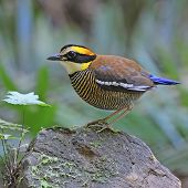 stock photo of belly-band  - A female of colorful Pitta - JPG