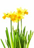 Yellow Flowers Isolated On White Background. Daffodil Flower Or Narcissus Bouquet Isolated On White