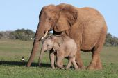 picture of baby animal  - Baby African elephant chasing a bird with it - JPG