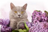 stock photo of rare flowers  - British kitten rare color and lilac flowers - JPG