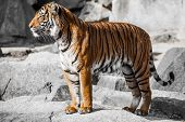pic of cute tiger  - Close - JPG
